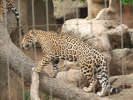 The jaguar exhibit will receive an extension and an off-exhibit breeding ground for rare big cats. http://url.ie/11p1m