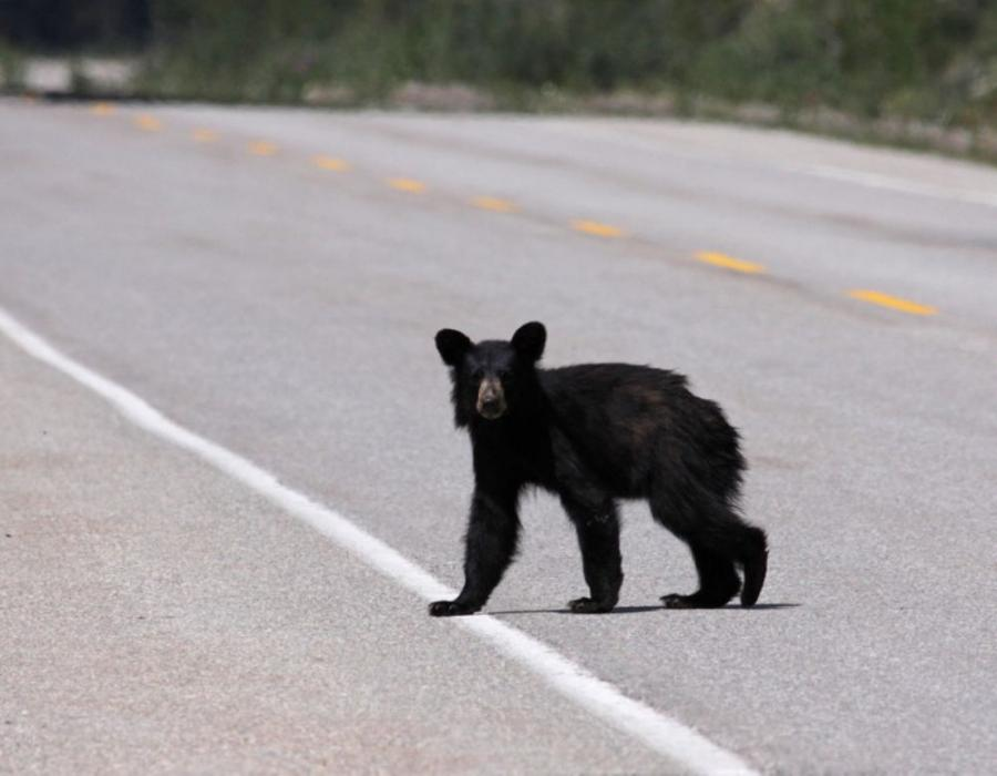Sawaya and others found that it can take several years for some species, like bears, to get accustomed to using underpasses and overpasses.