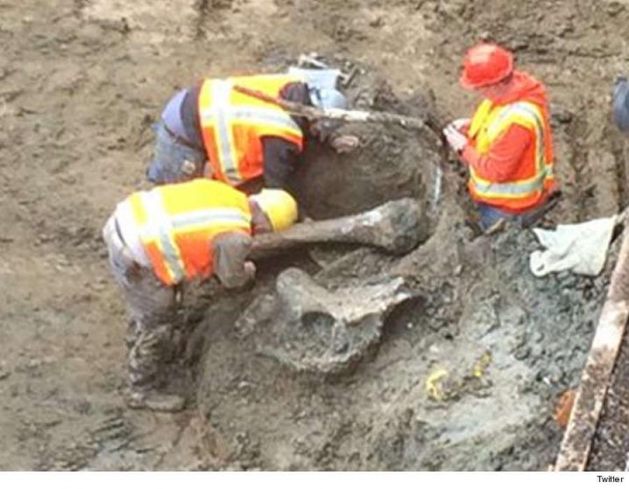 Image courtesy of Twitter. Oregon State University is reporting that construction crews digging in the north end zone in Reser Stadium on Monday uncovered a large femur bone, likely from a mammoth.