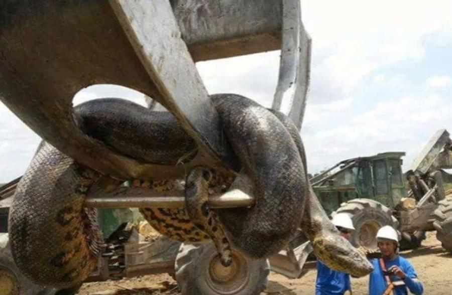 The giant snake was allegedly discovered after construction workers at the Belo Monte Dam site in Brazil set off an explosion to destroy a cave that was impeding construction work.