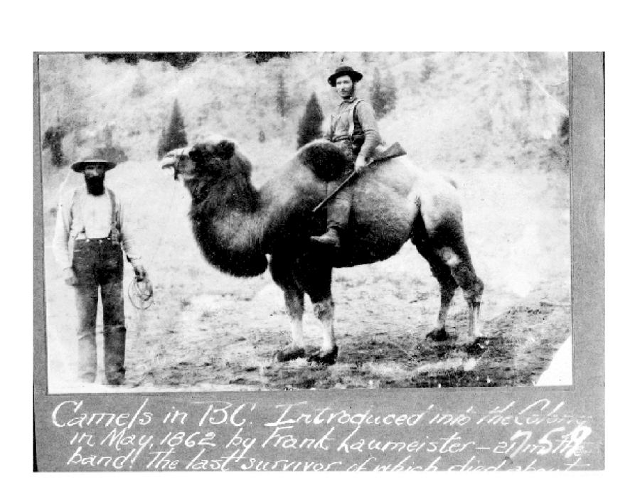Camels were used as pack animals in several western states. http://url.ie/11oqs