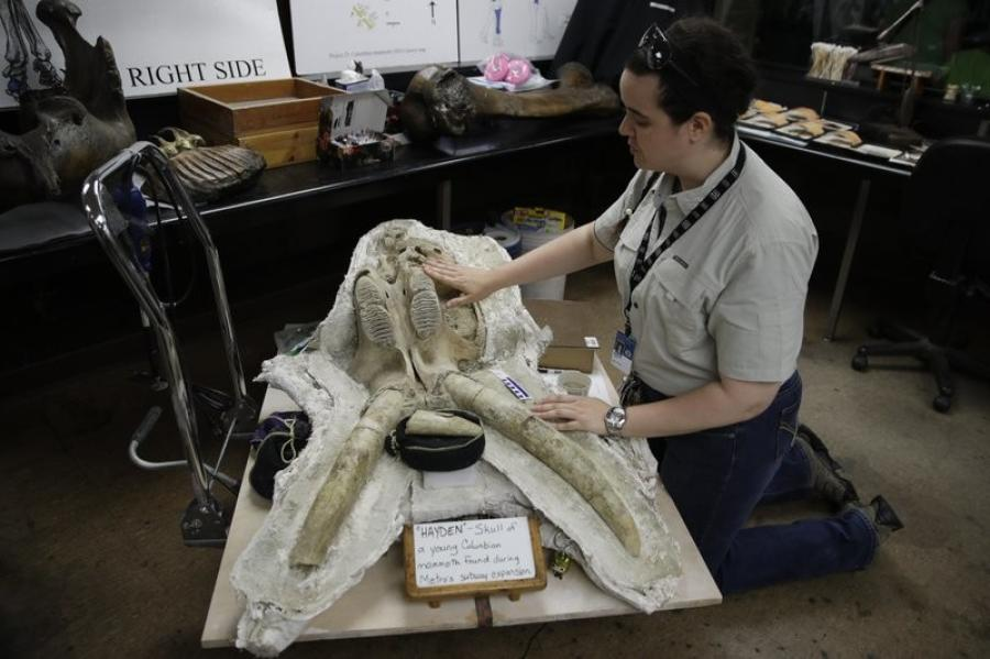 Paleontologist Ashley Leger shows the skull of a young Columbian mammoth found at the construction site of the Metro Purple Line extension in Los Angeles. (AP Photo/Jae C. Hong)