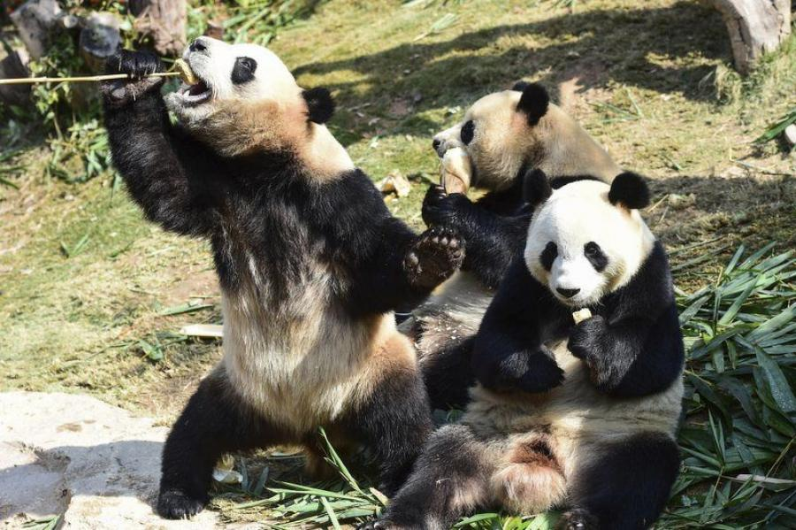 Giant pandas are China's unofficial national mascot and live mainly in the Sichuan mountains, with some in neighboring Gansu and Shaanxi provinces.