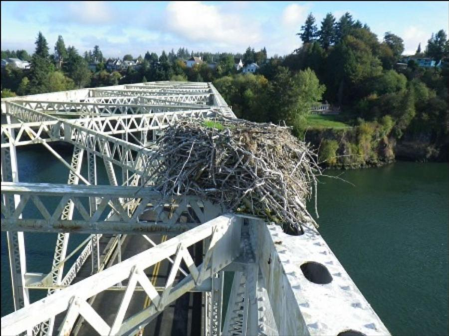The Washington State Department of Transportation is preparing to launch a preservation project to give longer life to a steel truss bridge on State Route 409 that was built in 1938. But first it had to remove a large osprey nest from atop that Puget Island Bridge.