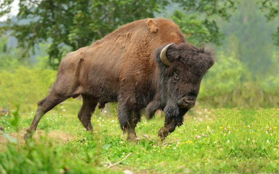 Park spokesman Neal Herbert told KULR-TV the man was working east of Fishing Bridge on the morning of July 12 when a bison knocked him to the ground.